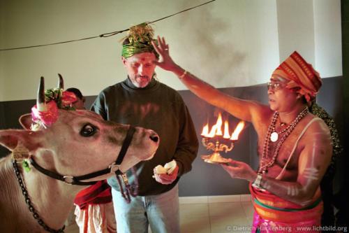 Hamm-Uentrop Hindutempel - Westfälische Kuh wird gesegnet - Die Kuh eines westfälischen Bauern soll den Tempelraum, in dem die Göttin zu stehen kommt, durch ihren Urin einweihen. Foto © Dietrich Hackenberg