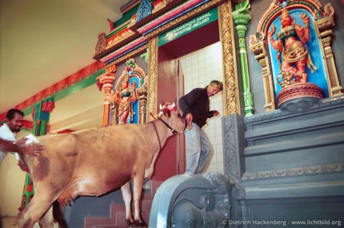 Westfälische Kuh im Tempel - Hindutempel, Hamm-Uentrop - Die Kuh eines westfälischen Bauern soll den Tempelraum, in dem die Göttin zu stehen kommt, durch ihren Urin einweihen. Foto © Dietrich Hackenberg