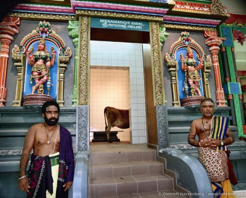 Hindupriester und Kuh - Hindutempel, Hamm-Uentrop - Warten, dass die Kuh pinkelt, um den Tempelraum für die Göttin vorzubereiten. Foto © Dietrich Hackenberg